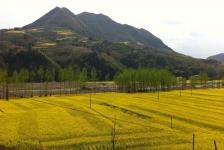 mianxian_fields_of_yellow_coal_flowers
